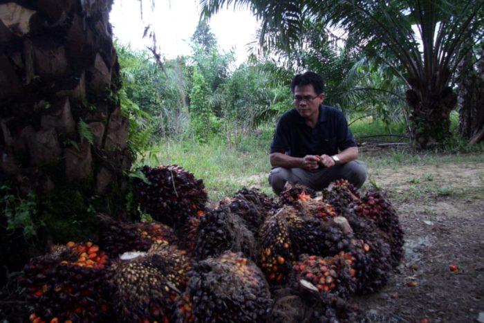 Frutos aceite de palma.