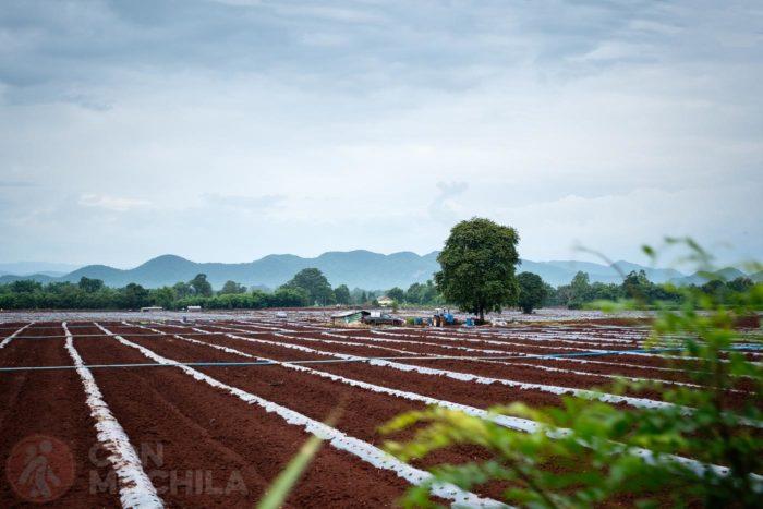 Un campo de cultivo