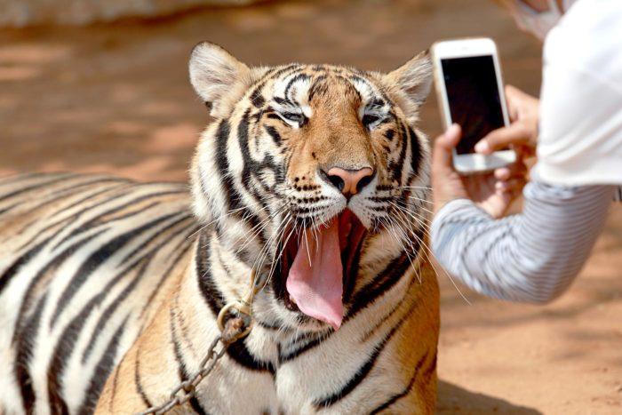 Centros de tigres y su foto de rigor...
