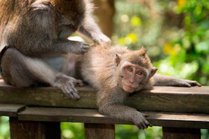 Macaco en el Monkey Forest de Ubud, Bali