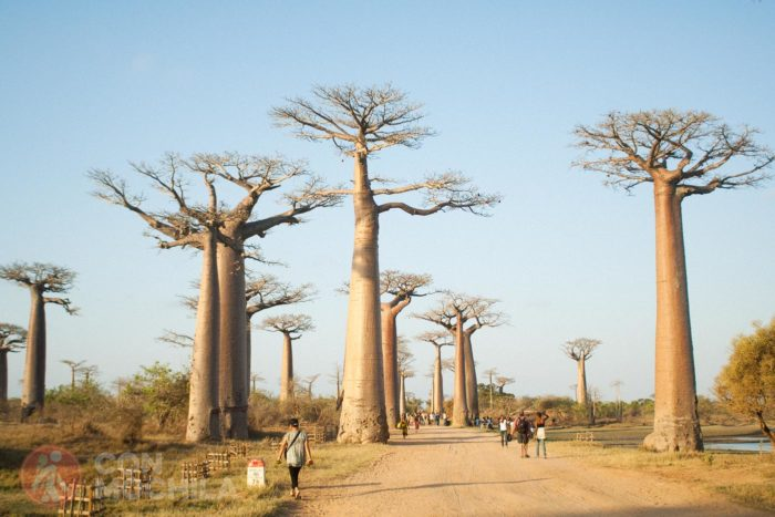 Avenida del baobab