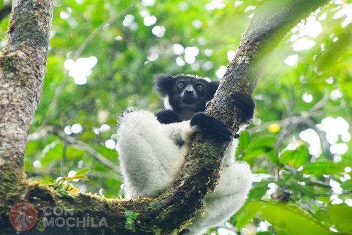 Indri curioso