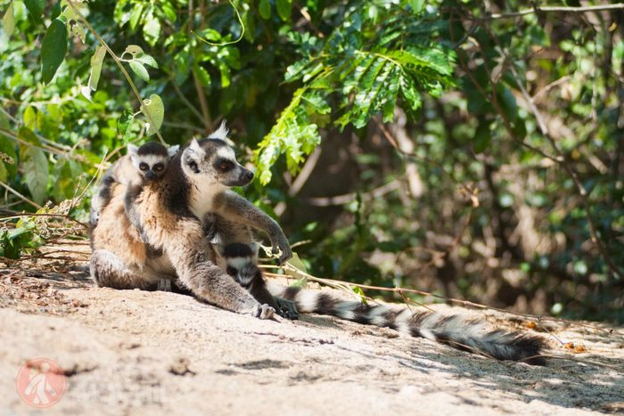 Lemur de cola anillada con cría