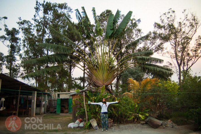 Ravenala madagascaiensis o árbol del viajero