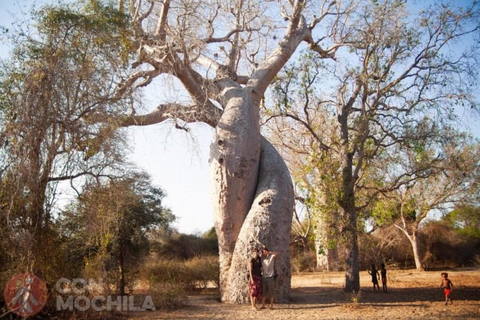 """También podrás ver baobabs """"enamorados"""""""