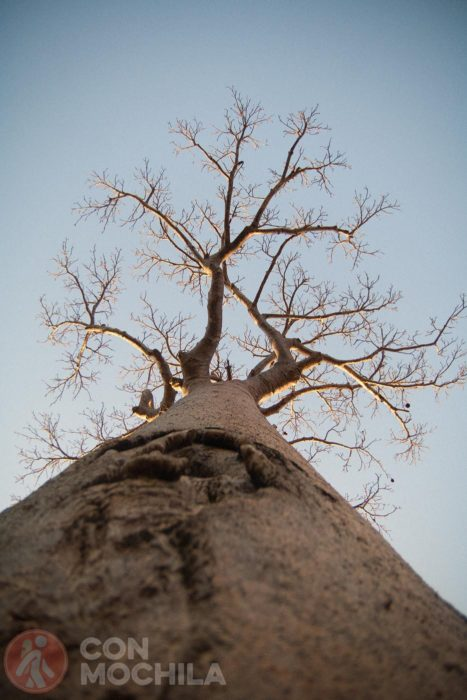 ¡Qué grandes son los baobabs!