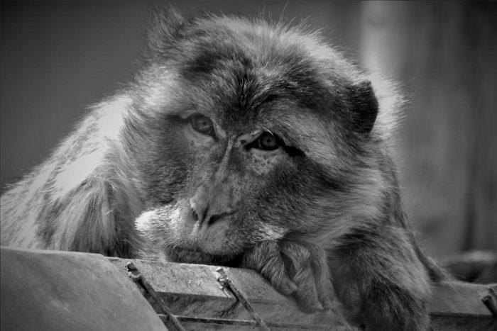 Rafi, el líder del grupo de macacos del centro
