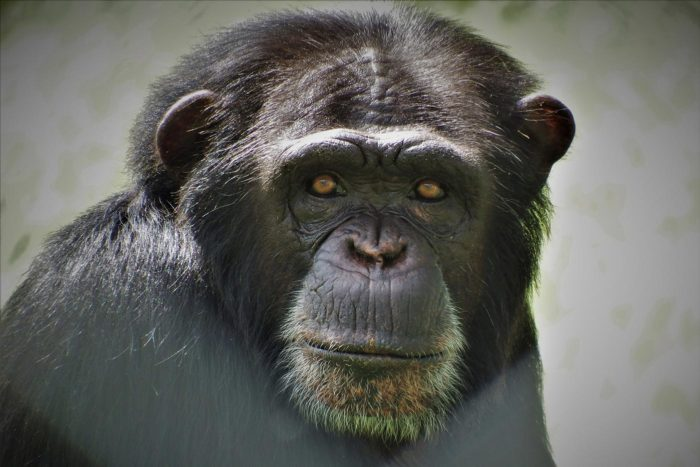 La mirada penetrante de Manuela, una de las chimpancés de Rainfer