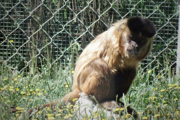 Willow, el capuchino de cabeza dura, observa al resto del grupo en la distancia