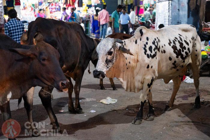 ¿Vacas? Las verás a montones