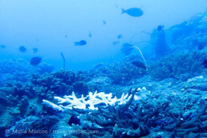Coral ramificado empezando a blanquearse en la isla de Redang, Malaysia.