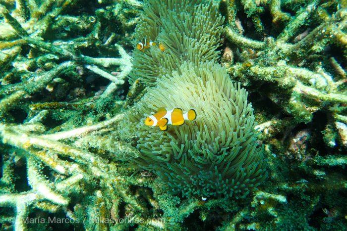 Una anémona y su hospedador resistiendo a los cambios de su alrededor.<br /> Cuando los corales están debilitados las algas empiezan a colonizar su estructura por completo.