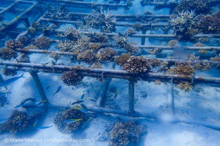 Arrecife artificial dentro del programa de rehabilitación de corales en la isla de Redang.