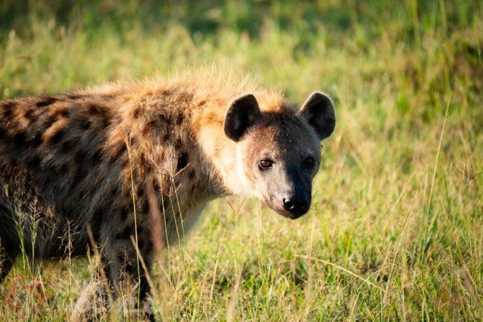 Una hiena en el Masai Mara