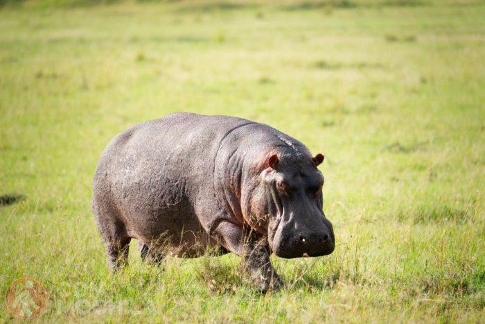 Un hipopótamo solitario