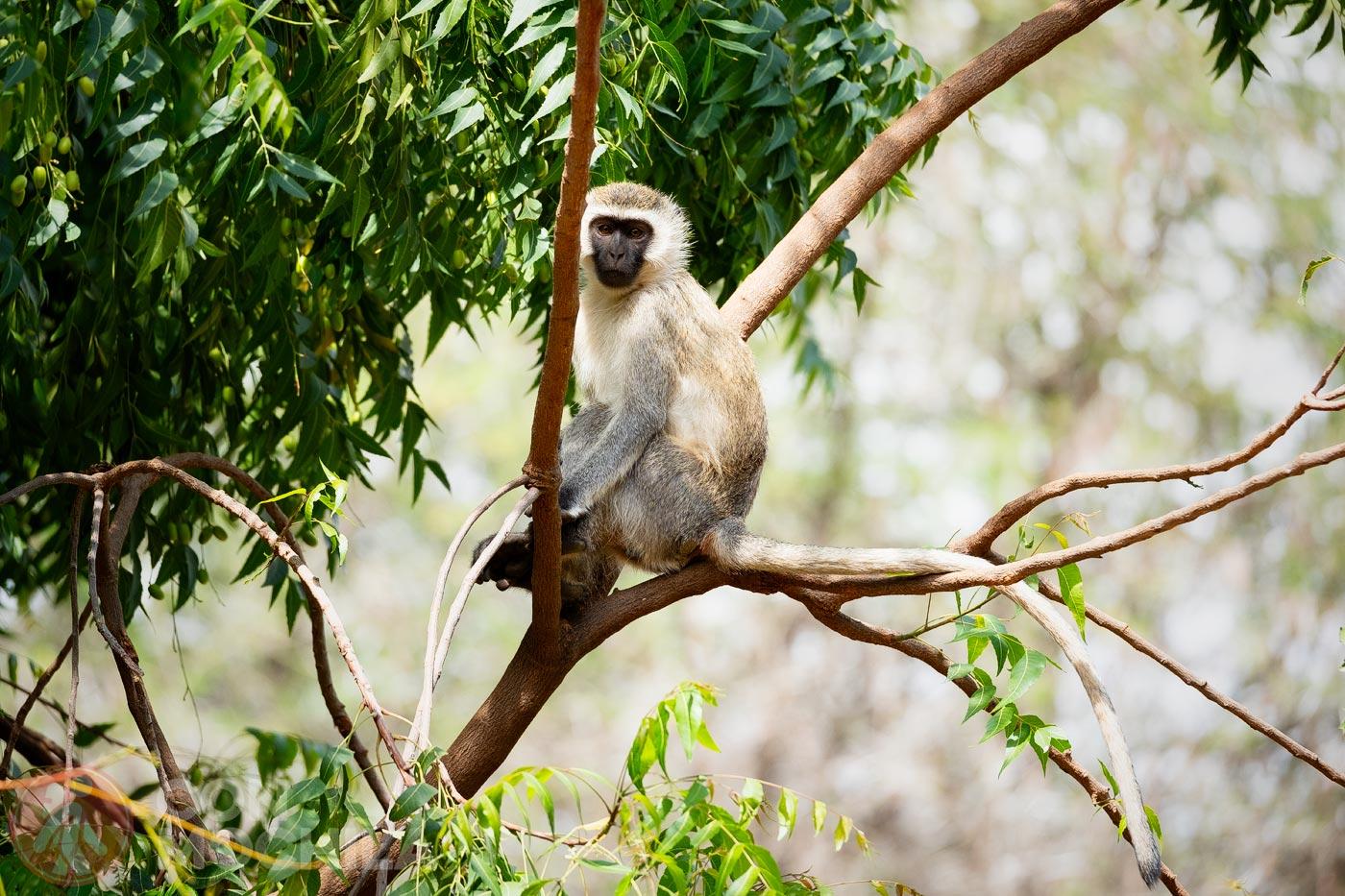 Mono de vervet