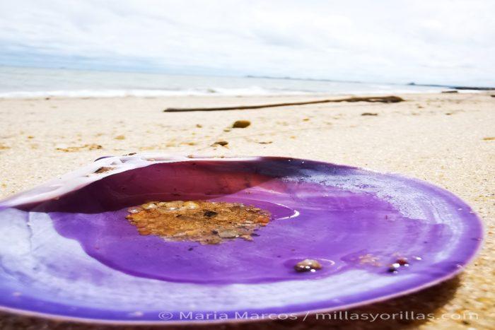 Las conchas al erosionarse van formando parte de la arena de las playas.