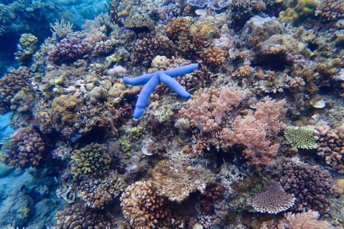 Arrecife de corales en Indonesia con una estrella de mar en su ambiente natural.