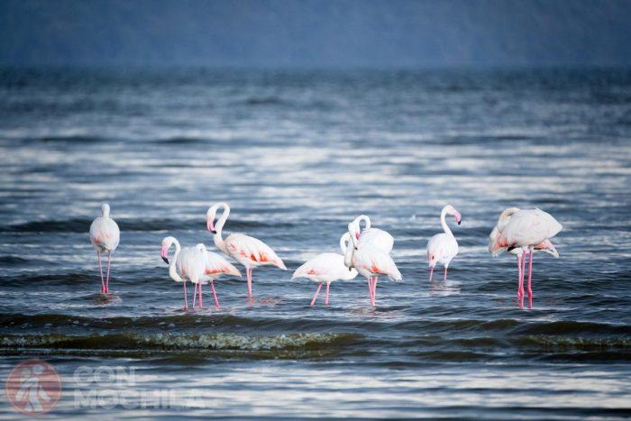 Flamencos, protagonistas en el Lago Nakuru