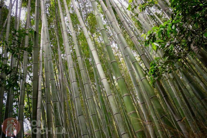 Bambús de más de 20 metros