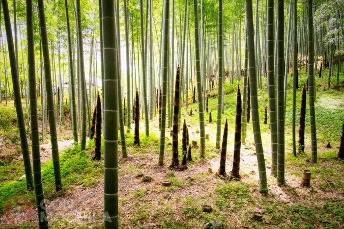Estampa del bosque de bambú de Arashiyama