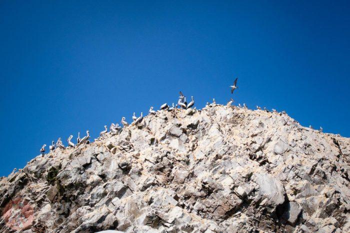 La fauna es el motivo principal para visitar las islas Ballestas