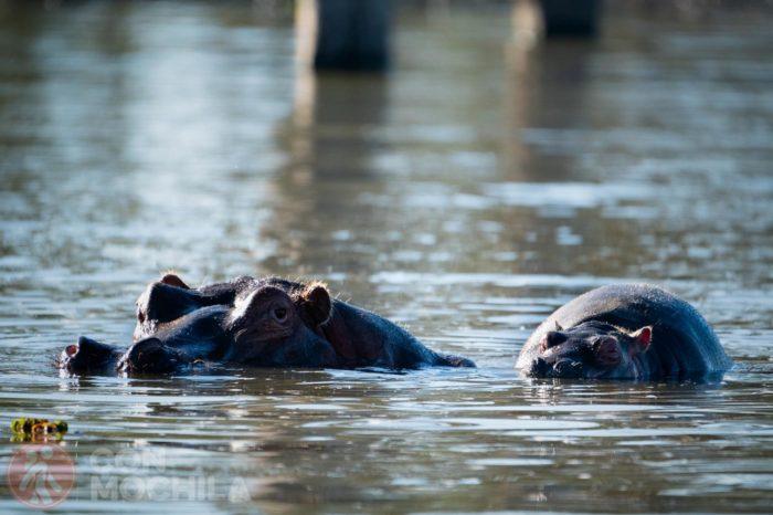 Los hipopótamos, los grandes protagonistas