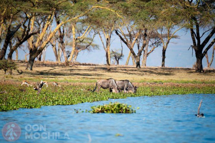 Ñues bebiendo del lago Naivasha