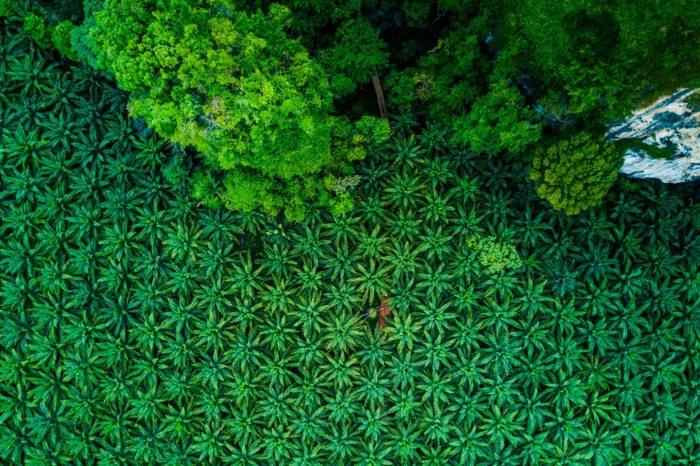 Plantación de palma