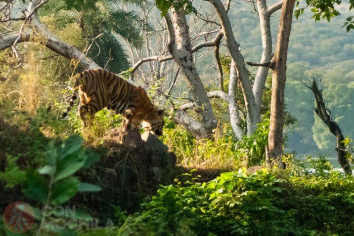 Relato divergente. El tigre